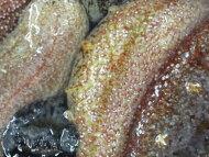 【鮮魚】海鼠〈ナマコ〉赤1Kg前後、2〜6個前後