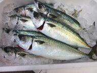 【鮮魚】鯖〈サバ〉小【加熱用】1匹、600g前後