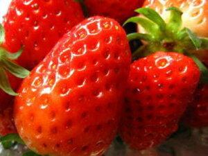 苺〈イチゴ〉【九州系】1ケース、1.2Kg前後、4PC入り