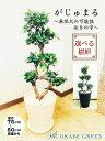 【お得クーポン配布中】 ガジュマル 8の字 多幸の木 送料無料 8号 白セラアート鉢 縁起物 無限大 幹が曲り 観葉植物 …