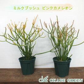 ミルクブッシュ ピンクカメレオン 緑プラスチック鉢 おしゃれ ギフト 観葉植物 多肉植物 お祝い 誕生日プレゼント 引越祝 新築祝い インテリア ディスプレイ 素敵 珍しい 送料無料
