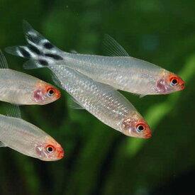 ラミーノーズテトラ 1匹 観賞魚 魚 アクアリウム 熱帯魚 ペット