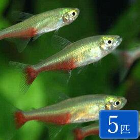 グリーンファイヤーテトラ 5匹 (3〜4cm程度) 観賞魚 魚 アクアリウム 熱帯魚 ペット
