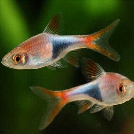 ラスボラ・ヘテロモルファ 1匹 観賞魚 魚 アクアリウム 熱帯魚 ペット