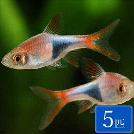 ラスボラ・ヘテロモルファ 5匹 観賞魚 魚 アクアリウム 熱帯魚 ペット