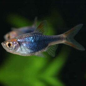 ラスボラ・ヘテロモルファ プラチナブルー (EUブリード) 1匹 観賞魚 魚 アクアリウム 熱帯魚 ペット