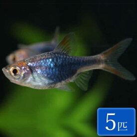 ラスボラ・ヘテロモルファ プラチナブルー (EUブリード) 5匹 ラスボラ 観賞魚 魚 コイの仲間 アクアリウム 熱帯魚 ペット