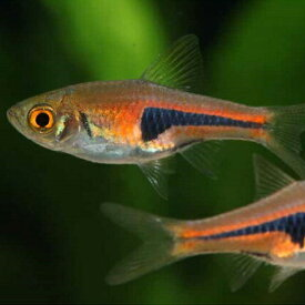 ラスボラ・エスペイ 1匹 観賞魚 魚 アクアリウム 熱帯魚 ペット