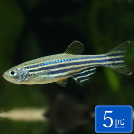 ゼブラダニオ 5匹 観賞魚 魚 アクアリウム 熱帯魚 ペット
