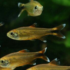 シルバーチップテトラ (ハセマニア) 1匹 観賞魚 魚 アクアリウム 熱帯魚 ペット