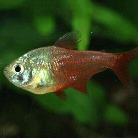 ダイヤモンドフレームテトラ 1匹 観賞魚 魚 アクアリウム ペット テトラ