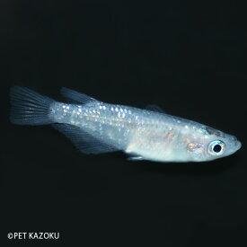 夜桜 (2〜3cm程度) メダカ 魚 観賞魚 アクアリウム ペット