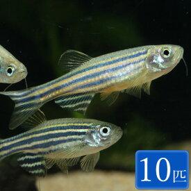 ゼブラダニオ 10匹 セット 観賞魚 魚 アクアリウム 熱帯魚 ペット コイの仲間 淡水魚 スターターフィッシュ パイロットフィッシュ