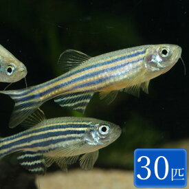 ゼブラダニオ 30匹 セット 観賞魚 魚 アクアリウム 熱帯魚 ペット コイの仲間 淡水魚 スターターフィッシュ パイロットフィッシュ