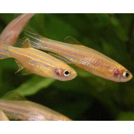 ゴールデンゼブラダニオ 1匹 観賞魚 魚 アクアリウム 熱帯魚 コイの仲間 ペット ゼブラダニオ