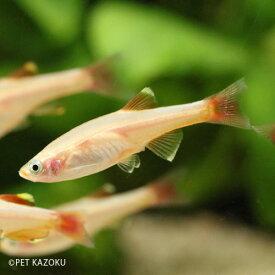 ゴールデンアカヒレ (L) 1匹 アカヒレ コイの仲間 小型 観賞魚 魚 アクアリウム 熱帯魚 ペット