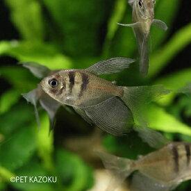 ロングフィンブラックテトラ 1匹 観賞魚 魚 アクアリウム 熱帯魚 カラシン ペット コロンビア