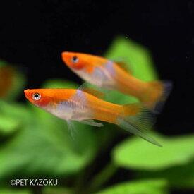 紅白ソード (黒目) 1匹 観賞魚 魚 アクアリウム 熱帯魚 ペット メダカの仲間 卵胎生 ブリード