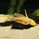 ロングフィンブルーアイゴールデンブッシープレコ (LL) 1ペア (10〜12cm程度) 観賞魚 魚 アクアリウム 熱帯魚 ペット