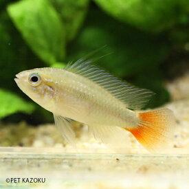 アピストグラマ・エリスルラ・レッドテール 1ペア アピスト アメリカンシクリッド シクリッド 観賞魚 魚 アクアリウム 熱帯魚 ペット