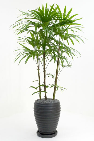 観葉植物 シュロチク 黒陶器 入り お祝い 大型 インテリア 観葉植物 父の日