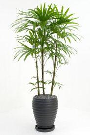 観葉植物 シュロチク 黒陶器 入り お祝い 大型 インテリア 観葉植物