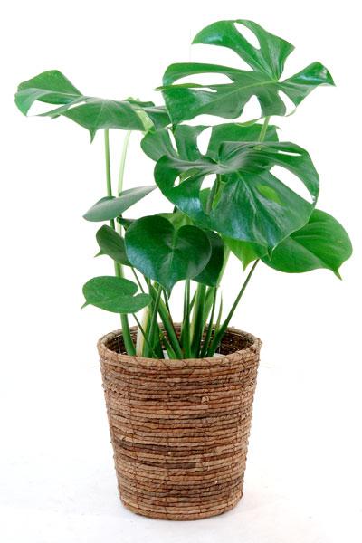 モンステラ 観葉植物 ヒメ モンステラ 6号 鉢カバー付対応 セット インテリア 引越し祝い 開店祝い 新築祝い 大型 観葉植物 送料無料 アジアン ミニ ビジネス 即日発送 お祝い 誕生日 父の日