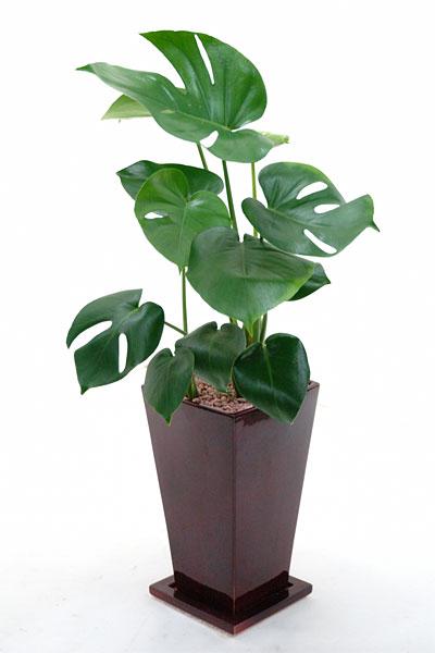 おうちをジャングルに変身させたい方☆もってこいですよ(^^♪ヒメモンステラ(ワインカラー陶器ポット入り)お祝い・ギフトに。 【モンステラ】【インテリア】【観葉植物】【陶器】 観葉植物 父の日