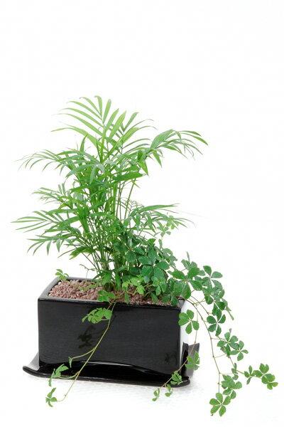 シュガーバインとテーブルヤシの寄せ植え。 お祝い インテリア 観葉植物 寄植え 陶器 観葉植物 シュガーバイン 父の日