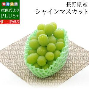 送料無料 長野県産 シャインマスカット  青秀品 500g 1房化粧箱 ぶどう、葡萄、ブドウ、マスカット