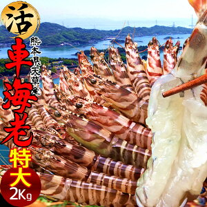 えび 車海老 特大【2L】活車えび 2kg(48-56尾)車エビ 生 クルマエビの本場 熊本県天草 養殖場直送 生き 活き車海老 獲れたて新鮮 おすすめ人気通販 産直 高級ギフト【送料無料】