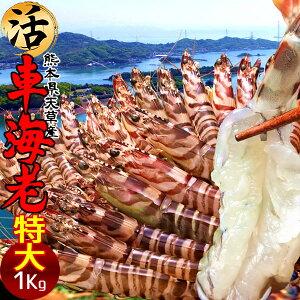 くるまエビ 車海老 生きたまま 特大 車エビ 生食【2L】1kg(24-28尾) 活 くるまえび 生き 刺身用 熊本県天草産 養殖 活き 生き 大矢野島 通販人気 食のふるさと お返し お取り寄せ とれたて新鮮