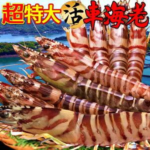 えび 車海老 超特大【3L】ジャイアント 活車えび 500g(8-11尾)車エビ 生 クルマエビの本場 熊本県天草 養殖場直送 生き 活き車海老 刺身 海老フライ 獲れたて新鮮 おすすめ人気通販 産直 高級ギ