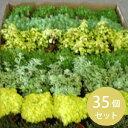 グランドカバー 苗 セダム(多肉植物)35個 セット(3.5寸) ケース販売