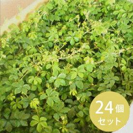 グランドカバー 苗 シュガーバイン 24個 セット (3寸) [苗][グランドカバー] ケース販売