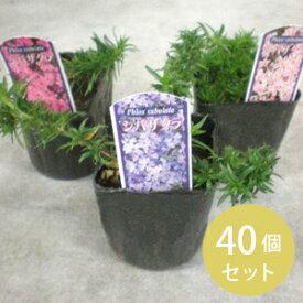 【国内どこでも送料無料】〈まとめ買い〉芝桜カラーミックス3寸40個セット [花苗][グランドカバー]