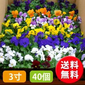 花苗 ビオラ カラーミックス 40個 セット(3寸 3号 9cmポット) ケース販売