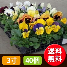 花苗 パンジー・カラーミックス 40個 セット (3寸 3号 9cmポット) ケース販売