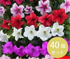 【日本国内どこでも送料無料!】ペチュニア・カラーミックス3寸40個セット [花苗][ペチュニア][学校、病院、公園、会社などの花壇にも]
