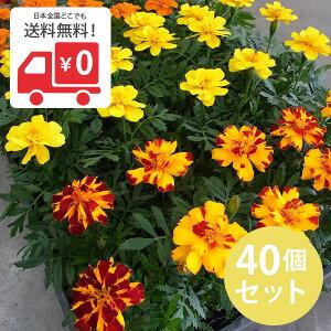 花苗 マリーゴールド・カラーミックス 40個 セット (3寸)ケース販売