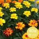 【日本国内どこでも送料無料!】マリーゴールド・カラーミックス3寸40個セット [花苗][マリーゴールド] [花壇][会社…