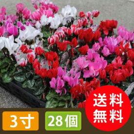 花苗 ガーデンシクラメン 28個 セット(3寸 3号 9cmポット) カラーミックス ケース販売