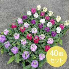 花苗 ストック(八重咲き)・カラーミックス 40個セット (3寸 3号 9cmポット) ケース販売