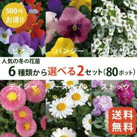 人気の秋冬の花苗6品種から選べる2セット(80ポット)(3寸 3号 9cmポット) パンジー ビオラ アリッサム ストック デイジー ノースポール 冬の花壇