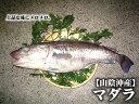 【持ち越し品】【スピード出荷】マダラ(真鱈)[生] 1匹(1kg程度)【タラチリ鍋に♪】