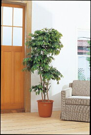 観葉植物 大型 ピュアメイト フィカス・ベンジャミン180cm 山崎産業 ED001-180X-MB