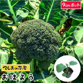 【てしまの苗】 ブロッコリー苗 おはよう 9cmポット 葉菜苗 培土 種 【人気】