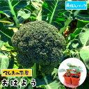 【てしまの苗】 ブロッコリー苗 おはよう 4株入りパック 葉菜苗 培土 種 【人気】