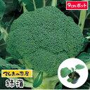 【てしまの苗】 ブロッコリー苗 緑嶺 9cmポット 葉菜苗 培土 種 【人気】