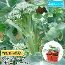 【てしまの苗】 茎ブロッコリー苗 スティックセニョール 4株入りパック 葉菜苗 培土 種 【人気】